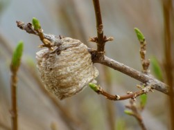 Mantis egg sac