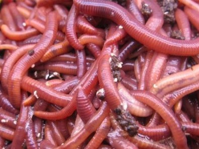 Red Worms
