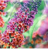 bi-color-butterfly-bush-buddleia-gallon-pot-purple