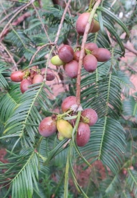 plum yew fruit