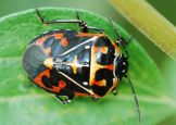 Harlequin Stink bug